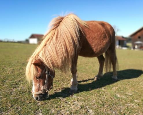 Und natürlich sind auf unseren Ponys auch Reitstunden für die jüngsten Reiter möglich